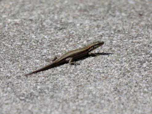 Mini dragon of Komodo...