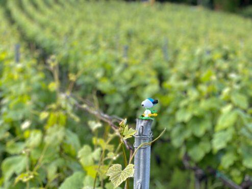 Supervising vineyards…